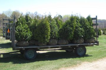 Arborvitae's Ready To Go